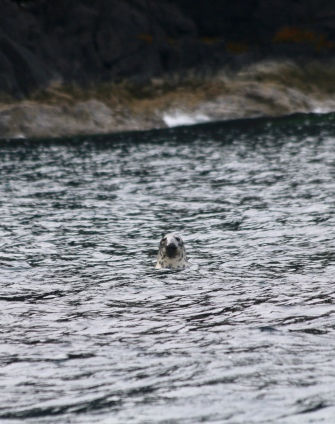 Grey seal playing in the water