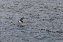 Puffins off the coast of Isle of Skye