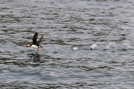 Puffins off the coast of Isle of Skye