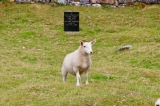 Lamb eating the grass in Cill Chriosd