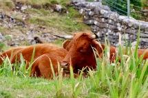 Isle of Skye - Elgol Highland Cow