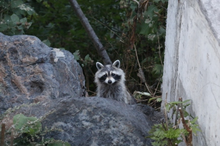 Montreal - friendly raccoon