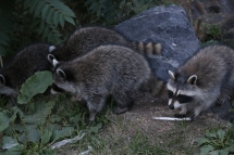 Montreal - friendly raccoons