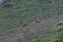 Red deer on the hill