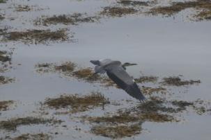 Heron on the Morven Peninsula