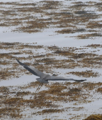 Heron on the Morven Peninsula