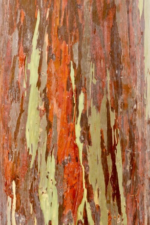 Rainbow gum trees at Dole Plantation