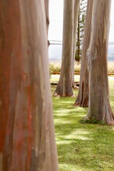 Rainbow gum trees at Dole Plantation