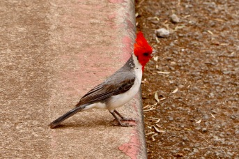 Red crested cardinal at Dole Plantation
