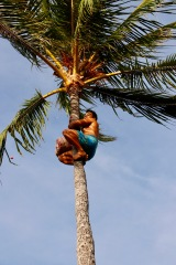 At the top of the coconut tree - with no safety harness