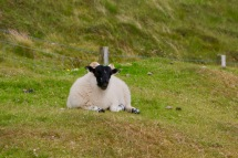 Highland Sheep with black faces