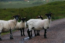 Highland sheep who had been shorn