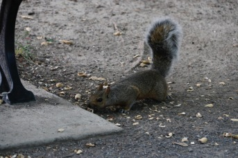 Montreal - grey squirrel in the park