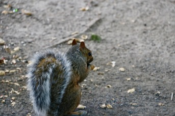 Montreal - grey squirrel