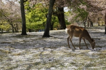 Deers and cherry blossom, Nara, Japan