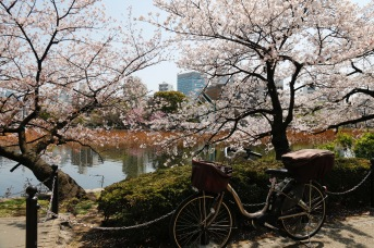 Cherry blossoms in Ueno Park