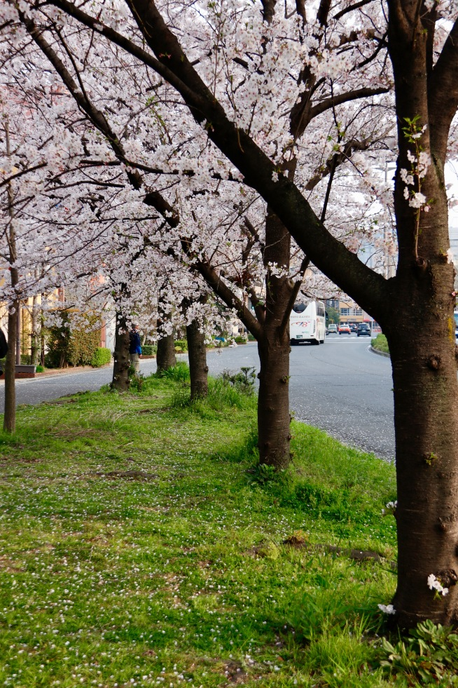 The beautiful cherry blossoms lining the street in Kyoto