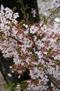 Cherry Blossoms, Hiroshima