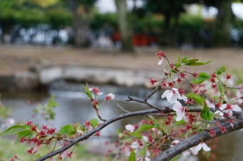 Cherry blossoms in Central Park, Hiroshima