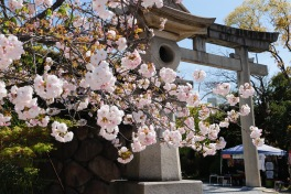 Cherry blossoms, Osaka Castle, Osaka