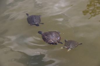 Turtles in the pond near Todaiji Temple, Nara, Japan