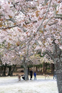 Cherry Blossoms of Nara Park, Nara, Japan