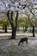 Deer under the cherry blossom, Nara, Japan