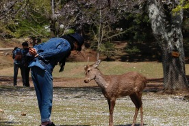A deer bowing, Nara, Japan