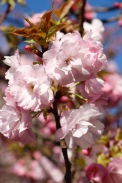 Cherry blossoms at Kenrokuen Garden, Kanazawa Castle Park, Kanazawa, Japan