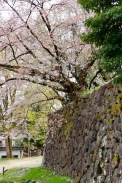 Cherry blossoms alongside a wall that was built hundreds of years ago, Kanazawa Castle, Kanazawa, Japan