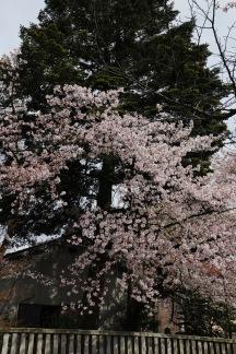 Cherry blossom, Utasu Shrine, Kanazawa, Japan