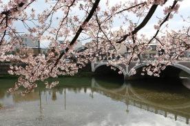 Cherry blossoms and Saigawa River, Kanazawa, Japan