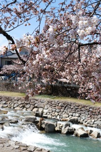 Cherry blossoms by the river, Takayama, Japan