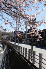 Cherry blossoms in Takayama, Japan
