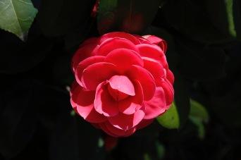Camellia, Takayama, Japan
