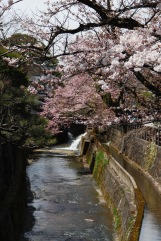 Cherry blossoms in the streets of Takayama, Japan