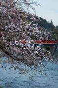 Cherry blossoms, Nakabashi Bridge, Takayama,