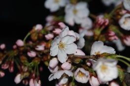 Cherry blossoms, Takayama, Japan
